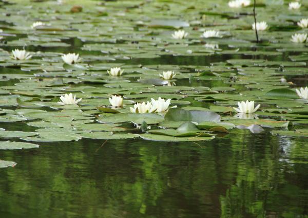 hvidt vandlily i so med skovrefleksion
