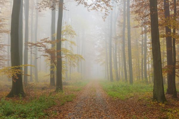 sti gennem misty european beech
