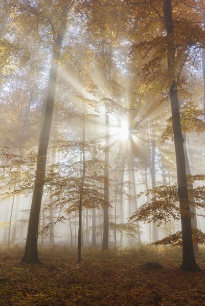 solstraler i europaeisk bog fagus