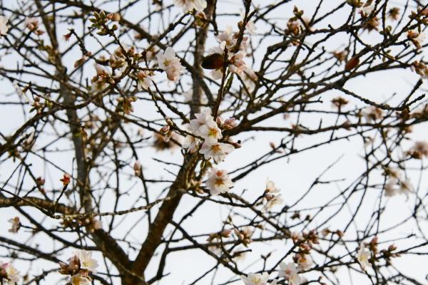 blossoms, on, almond, tree, , alicante - 28218133