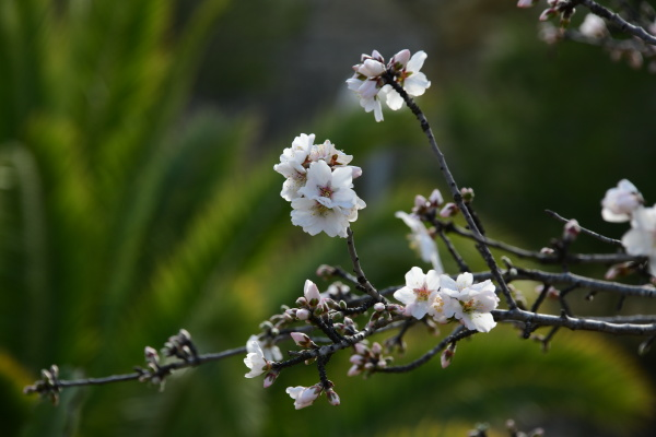 blossoms, on, almond, tree, , alicante - 28218234