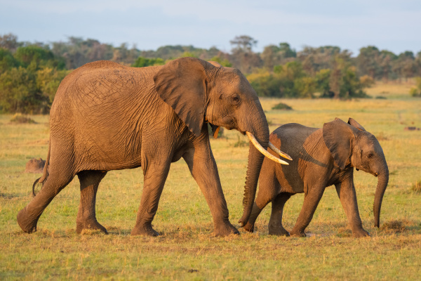 african, elephant, and, calf, walk, across - 28479807