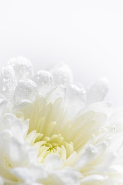 stadig, liv, blomster, på, hvid, baggrund - 30554543