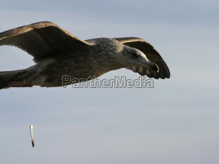 flyvning fugl fugle vinge havmage naeb