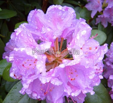 rhododendron pink regentropfen