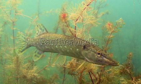 plante fisk undersoisk jage jagt jagte