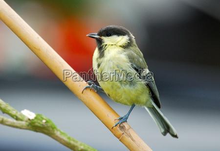 fugl fugle gren stor musvit songbird