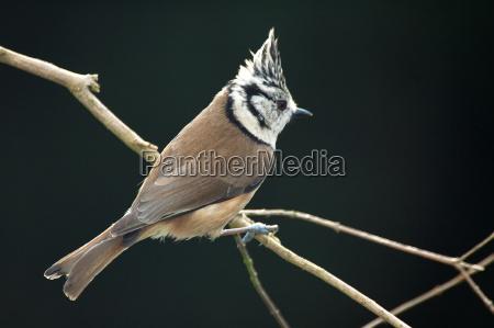 fugl fugle dyreliv tit songbird sangfugle