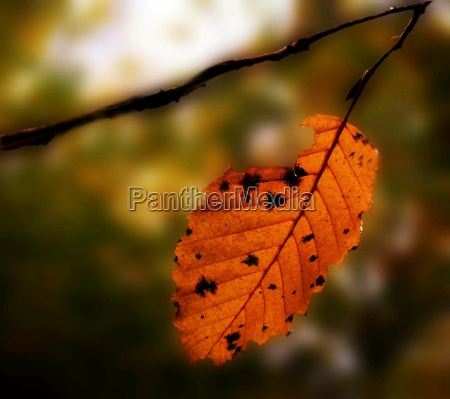 trae brun kold koldt blade lov