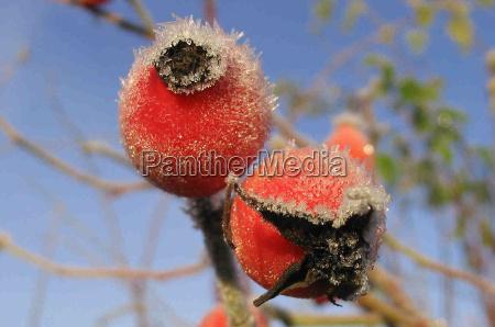 vinter kold koldt frost frostvejr frugt