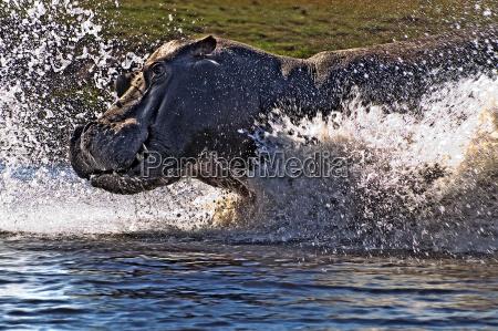 hippo attack