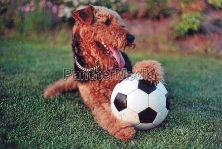 spil spille spiller lege bold hund