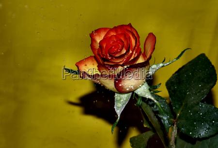 blomst plant plante rose gron gront