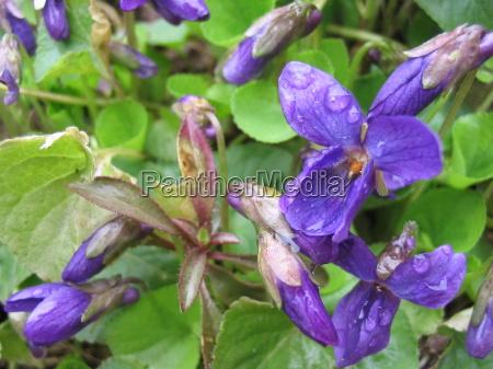 violet viola fruehlingsblueher veilchenblau wildveilchen fruehlingsboten