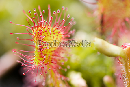 tidende drosera rotundifolia 6