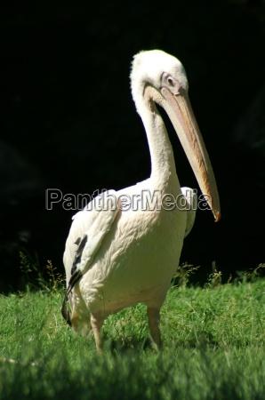 fugl jaeger fugle naeb fjerdragt pelikan