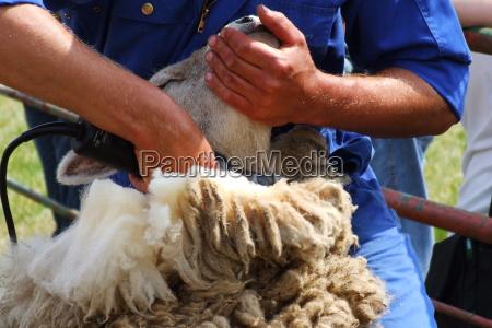 sheep shearing 1