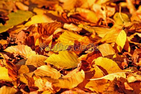 blad blade tidligt tidlig gul lov