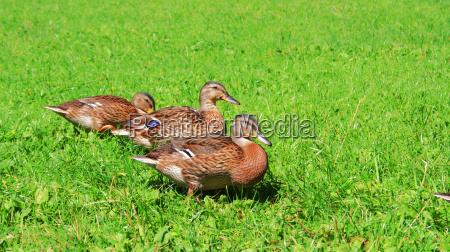 brun dyr naeb vralte vildaender eng