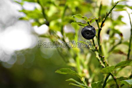 blade frugter frugt traefrugt kvist baer