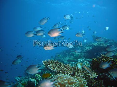 fisk undersoisk egypten dive dykning barske