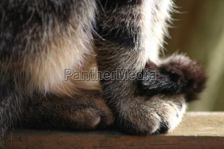 animal pet brown brownish brunette cat