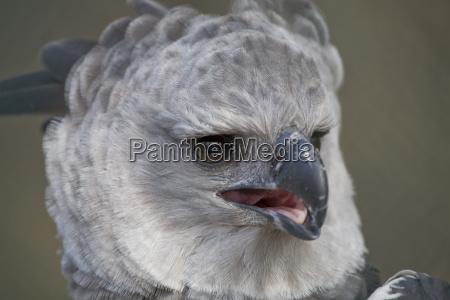 den harpy