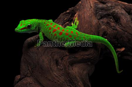 madagascar giorno gecko