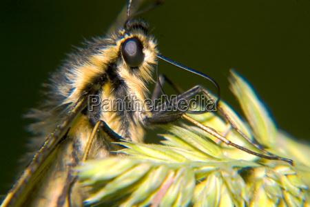 insekt sommerfugl mol svalehale