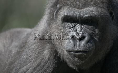 abe gorilla menneskeabe