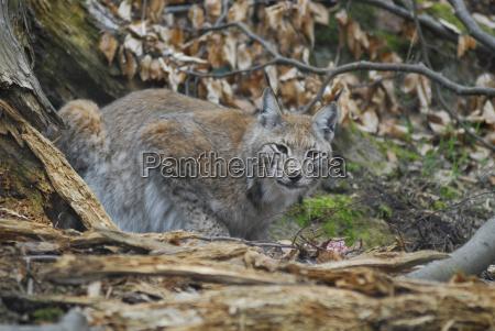 fare dyr pattedyr mund nationalpark vild
