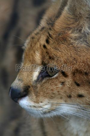 servalportraet