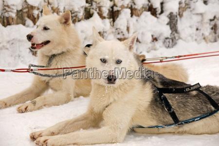 huskies huskies