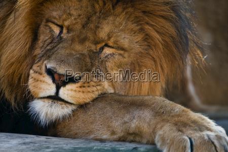 sleeping konge