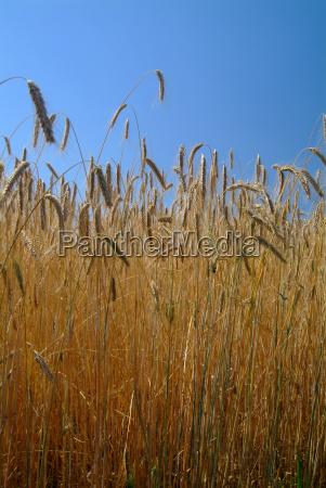 agerbrug mark felt hvede ore dyrkning