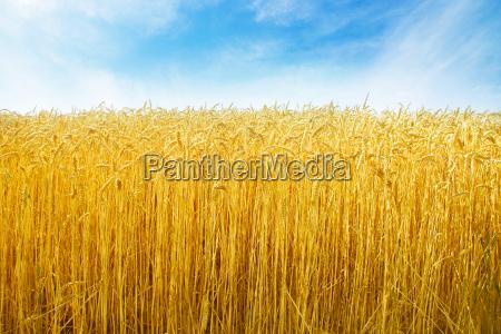 hvede