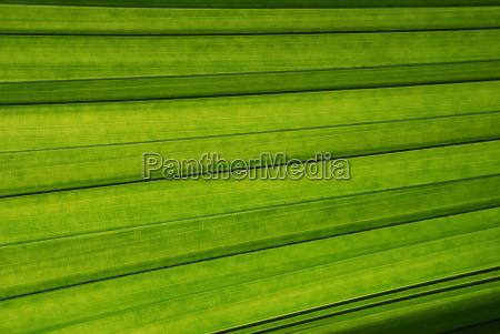 palm leaf close up