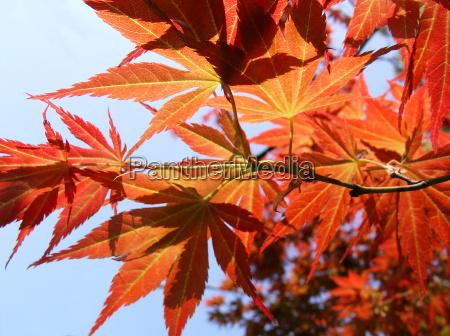 blad ahorn efterarsblade oktober lov falde