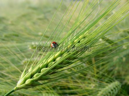 insekt bille korn ore byg