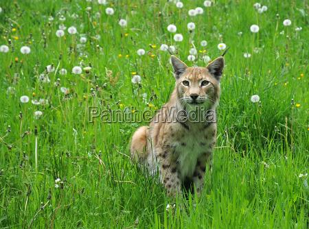 jaeger rovkat stor kat predator wildcat