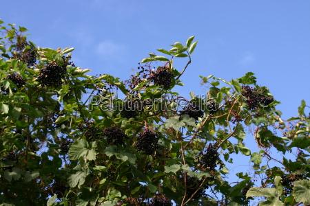 black elderberries