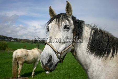 horse pride