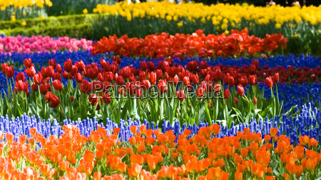 tulips and common grape hyacinth