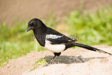 common magpie or european magpie
