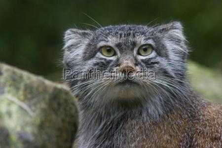 dyr pattedyr katte kat huskat missekat