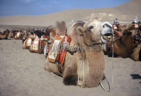 kameler dunhuang kina