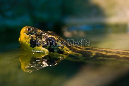 dyr krybdyr slange slanger