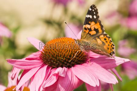 dyr insekt insekter sommerfugl sommerfugle