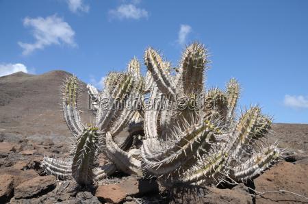 cactus in fuerteventura