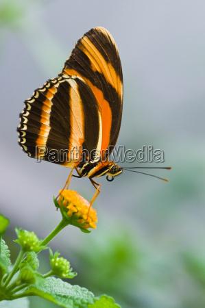 banded orange tiger butterfly pa lantana